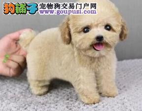 泰迪犬葫芦岛最大的正规犬舍完美售后签署质保合同