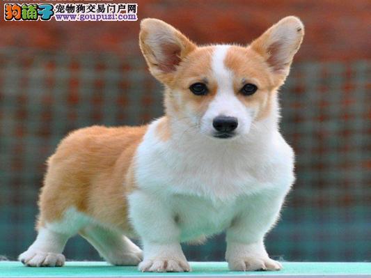 上海售柯基短腿威尔士柯基犬幼犬疫苗驱虫已做