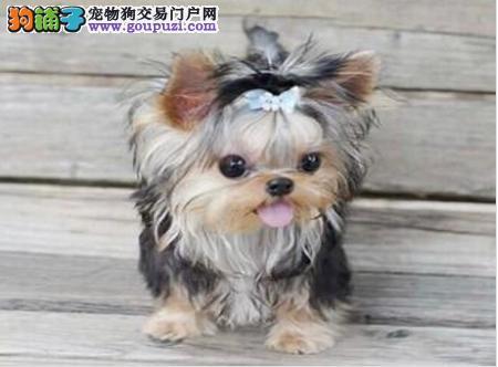 南京超小体约克夏宝宝,时尚爱宠,高贵气质