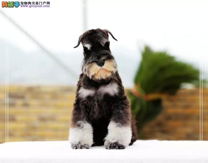 大胡子血统纯正的太原雪纳瑞幼犬找新主人 速来选购吧1