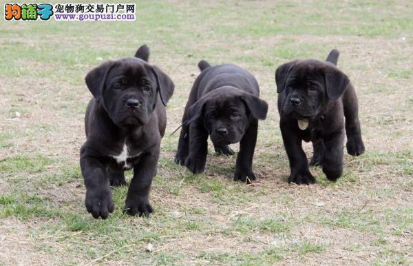 纯种卡斯罗 卡斯罗幼犬 意大利专业护卫犬 多窝选择
