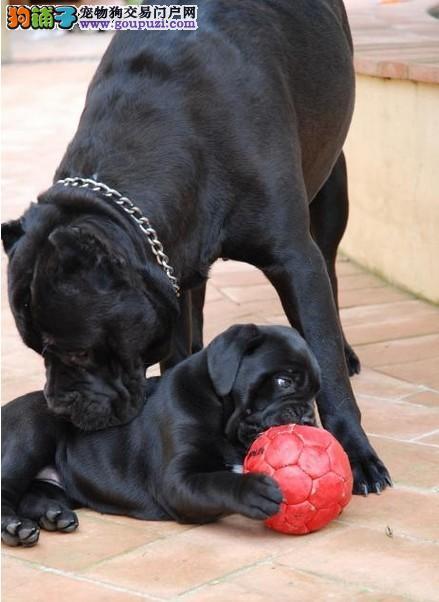 专业繁殖基地纯卡斯罗犬三针齐质保三年可送货