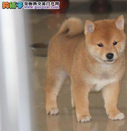 犬舍出售柴犬幼犬包健康纯种