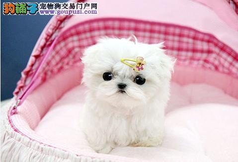 犬舍出售马尔济斯犬 纯正马尔济斯幼犬 洁白活泼可爱