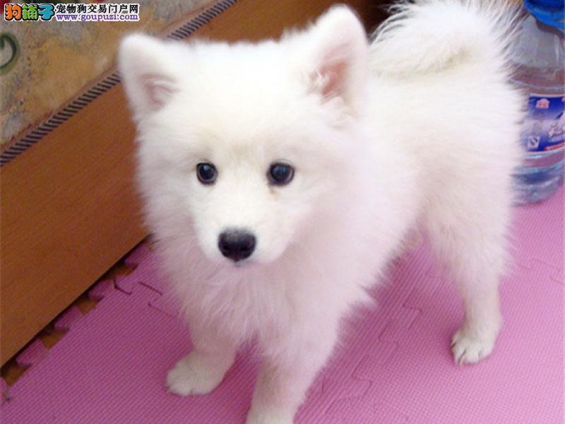 广州哪里有卖宠物狗银狐犬 广州纯种银狐犬价格