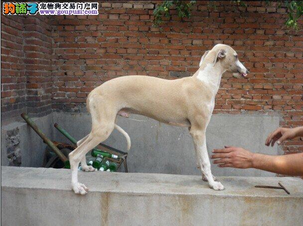 漳州市出售格力犬幼犬 包纯种健康 可视频看狗 包养活