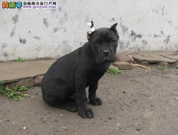 出售聪明伶俐卡斯罗犬品相极佳价格美丽品质优良