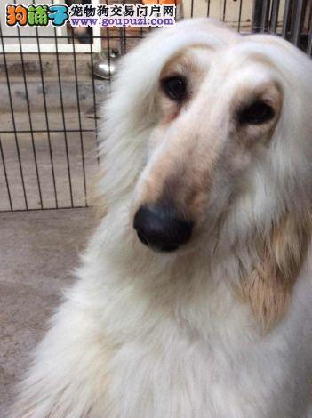 最大犬舍出售多种颜色阿富汗猎犬品质保障可全国送货