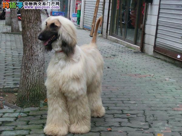 犬舍低价热销 阿富汗猎犬血统纯正以品质惊世人