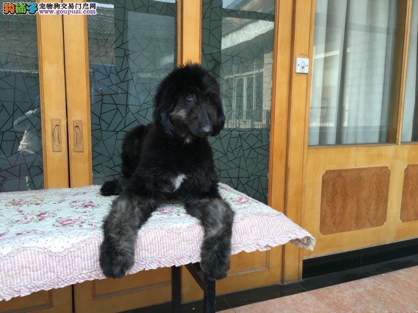 CKU认证犬舍出售高品质阿富汗猎犬我们承诺终身免费售后