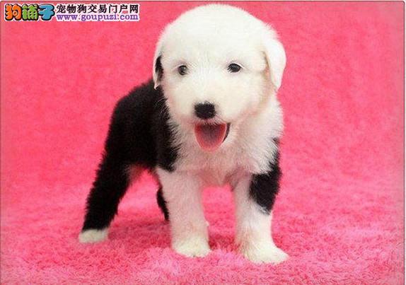 国际认证带CKU血统的白头通背古牧宝宝出售可上门选狗