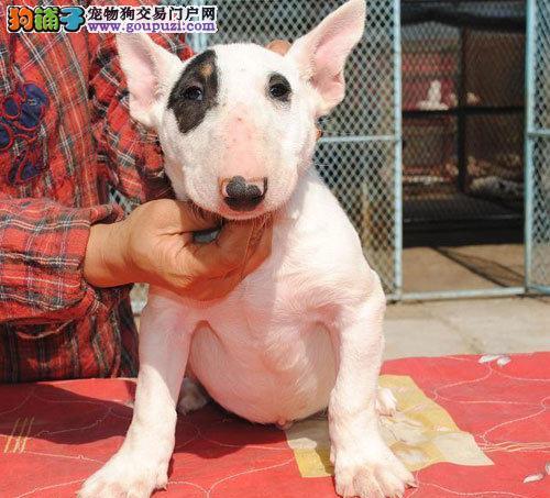 拉萨纯种牛头梗幼犬 海盗眼颜色全 签协议可送