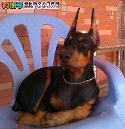 杜宾犬多少钱一只
