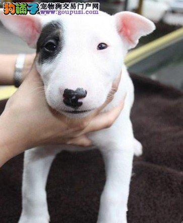 精品牛头梗幼犬一对一视频服务买着放心优质服务终身售后