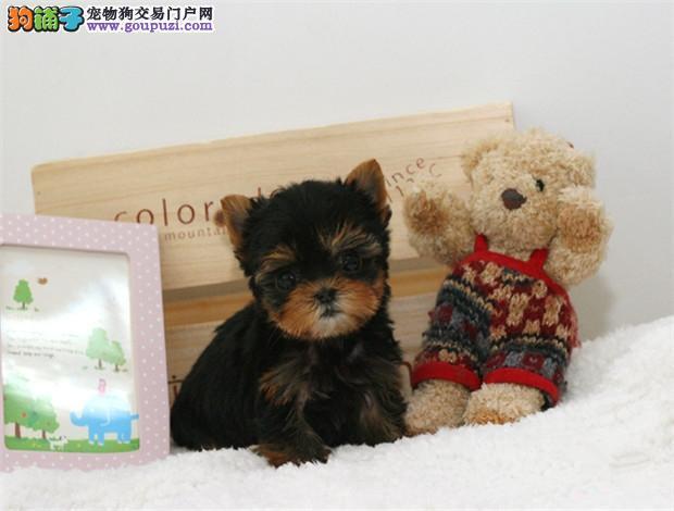 犬舍直销品种纯正健康郑州约克夏狗贩子请勿扰