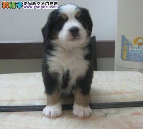 CKU认证犬舍 专业出售极品 伯恩山幼犬全国送货上门