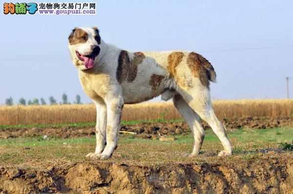 多种颜色的赛级中亚牧羊犬幼犬寻找主人保证品质完美售后