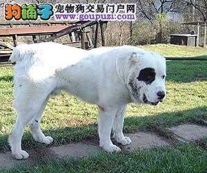 实物拍摄的中亚牧羊犬找新主人诚信经营良心售后