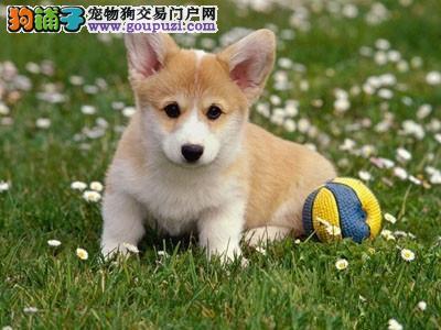 咸阳威尔士柯基犬超萌小短腿健康质保可上门可送可视频