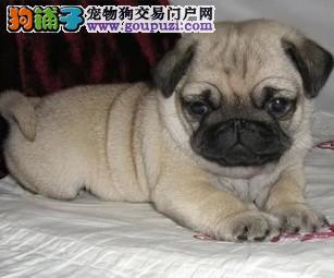 南京哪里有卖巴哥犬 南京纯种巴哥哪里有 多只挑选1
