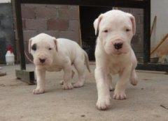 杭州出售比特犬颜色齐全公母都有专业品质一流