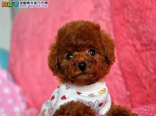 广州韩国血统精品玩具贵宾泰迪犬可签协议免费送上门