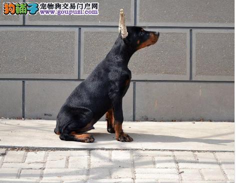 青岛市出售杜宾犬幼犬 疫苗齐全 协议质保 可上门选购