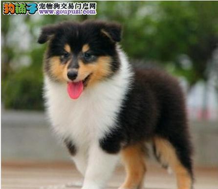 上海售纯种苏牧保纯保健康苏格兰牧羊犬公母全有