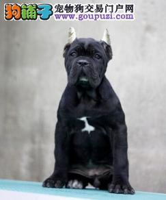 遵义正规诚信犬舍售高级护卫犬伴侣犬威武霸气卡斯罗犬