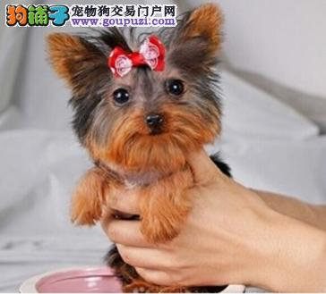 上海约克夏茶杯犬出售 赛级品相 纯种健康