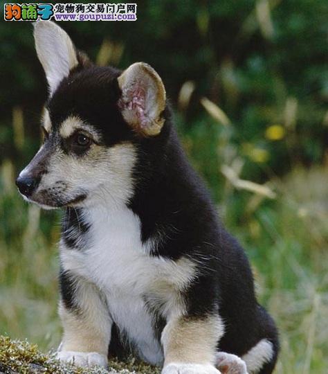娇小可爱的柯基犬独特气质