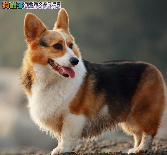 纯种柯基犬和混种柯基犬的特色及比较