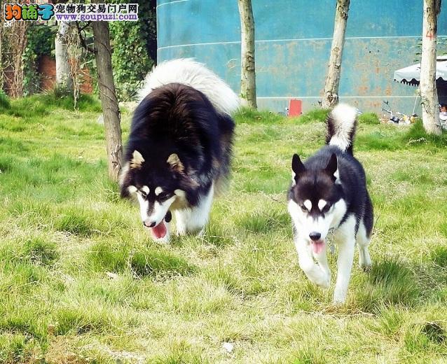 区分阿拉斯加、西伯利亚雪撬犬