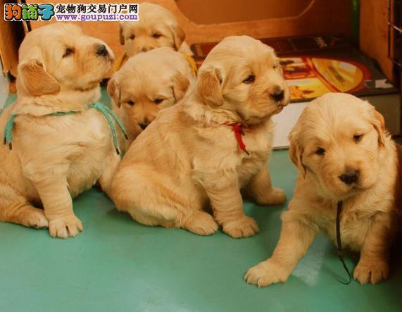 同窝黄金寻回犬中选取幼犬的方法