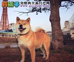 柴犬性格特征及疾病须知