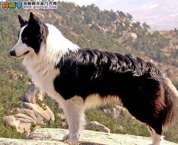 边境牧羊犬的天赋与性格特征