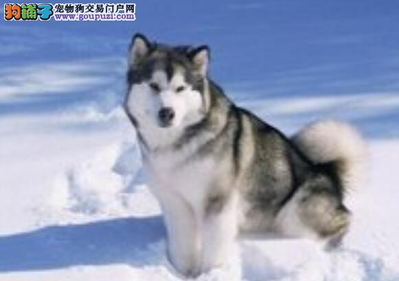 教你如何分辨阿拉斯加雪橇犬与西伯利亚雪橇犬