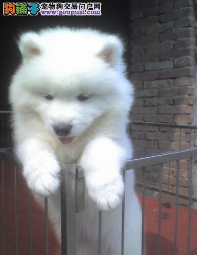 6周以下幼犬饲养注意事项