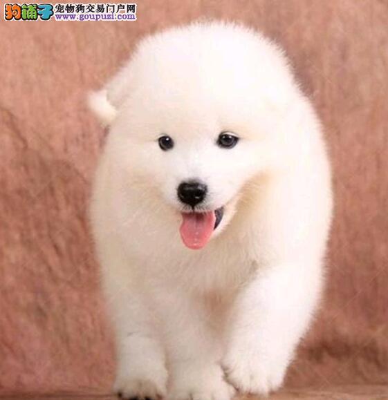 萨摩耶母犬怀孕的相关知识与征兆