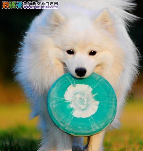 喂养银狐幼犬注意事项
