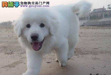 大白熊眼睛上有污物 清理狗狗眼睛污物方法