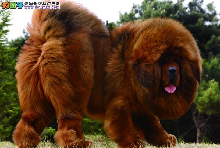 藏獒犬佝偻病的预防和治疗