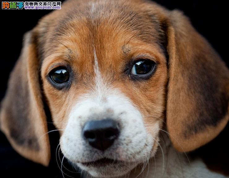 比格犬食欲不振拉血便疑似肾脏衰竭
