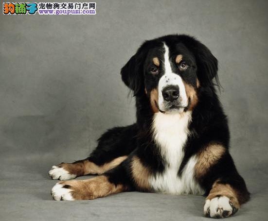 伯恩山犬生病各种征兆及护理