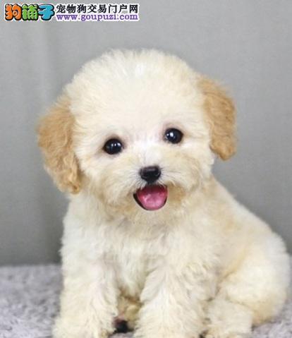 泰迪犬患皮肤湿疹的治疗方法