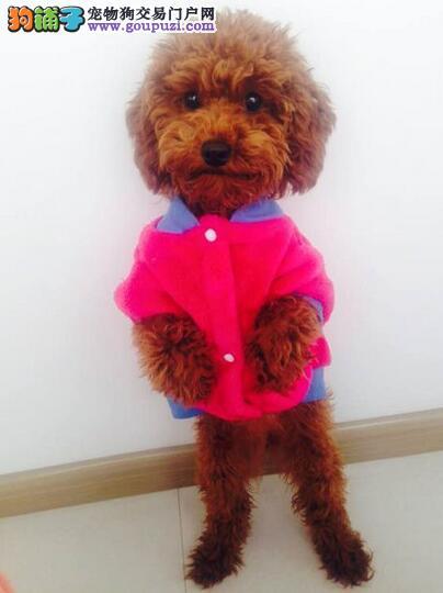 教你如何给泰迪犬选择合适的衣服