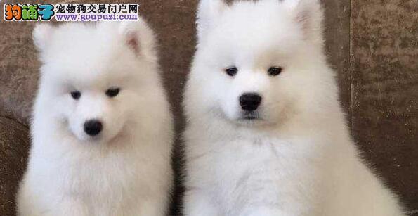 萨摩耶幼犬吃什么食物利于健康成长