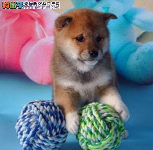 抚顺市售精品柴犬幼犬 日本西巴犬幼犬 防疫全多只待选