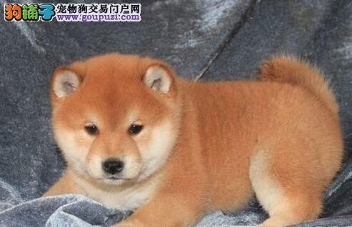 日系微笑柴犬幼犬出售 赛级品质 包犬瘟细小 可见狗父母