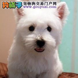 纯种西高地幼犬宝宝-保纯种-保健康!
